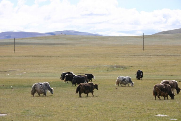 Day 59 The change is instant. Yaks and camels wonder the grasslands, eagles stand on the trail reluctant to move and when they do the wings span the track.